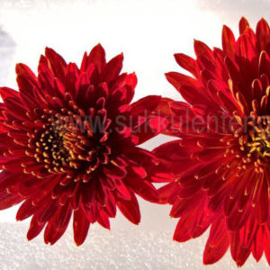 chrysanthemum Brennpunkt