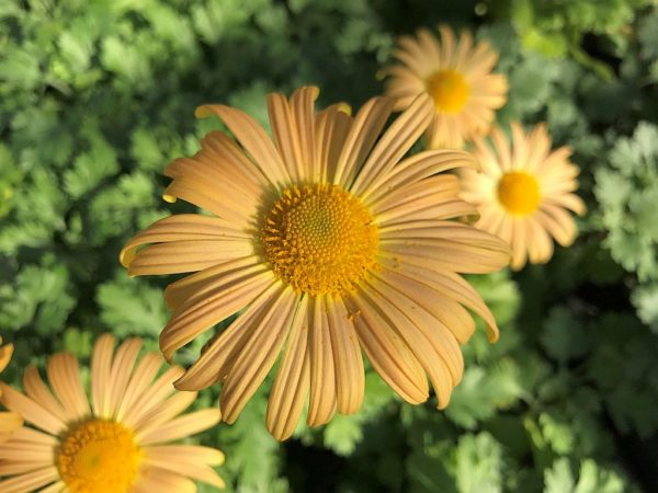 Chrysanthemum Mary Stoker 46 klein1_Pro