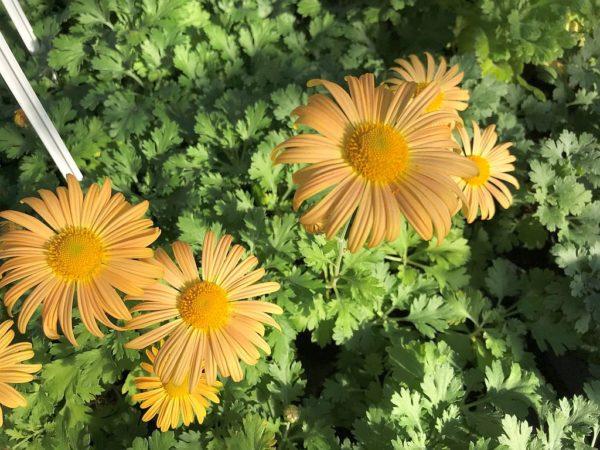 Chrysanthemum Mary Stoker 46 klein2_Pro