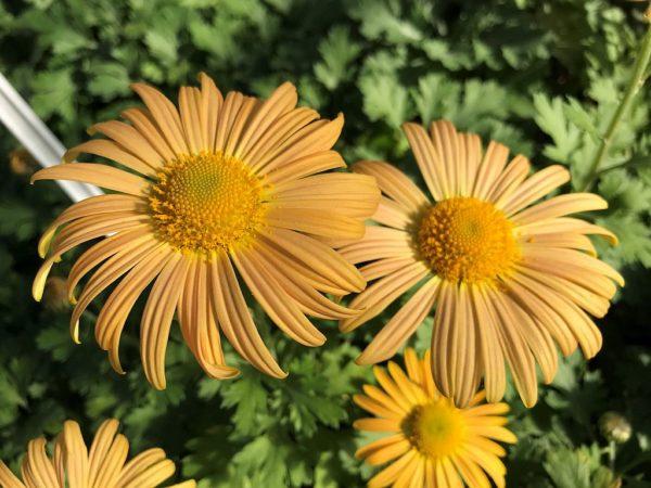 Chrysanthemum Mary Stoker 46 klein_Pro