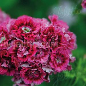 Dianthus barbatus Bartnelke
