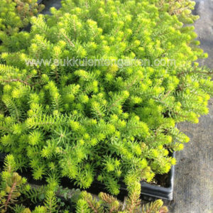 Sedum 'Yellow Cushion'