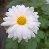 Weiße Nebelrose klein