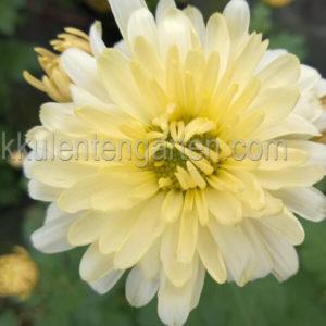 chrysanthemum darmstadt