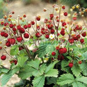 walderdbeeren