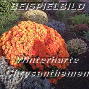 winterharte-chsysanthemen-beispielbild