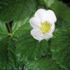 fraisier_cupido(R)F1_fleur[23376] klein