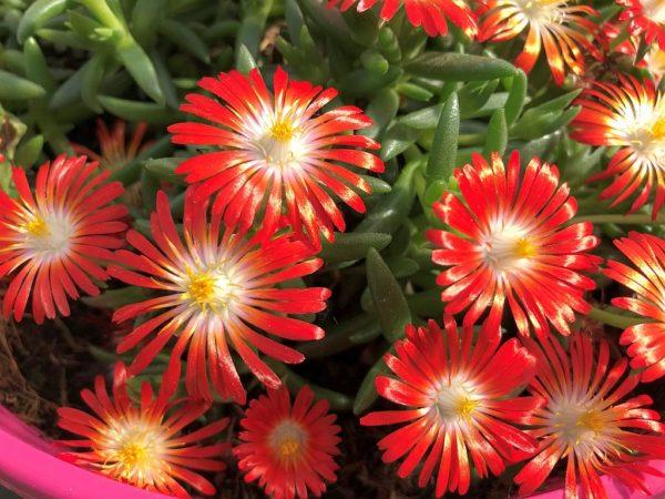 Delosperma 'Multicolor'