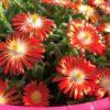 Delosperma Multicolor