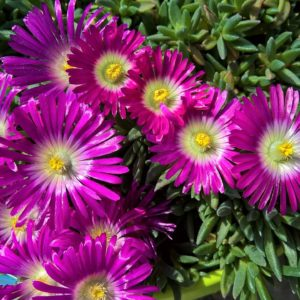 "Delosperma ""Dragon Lips"""