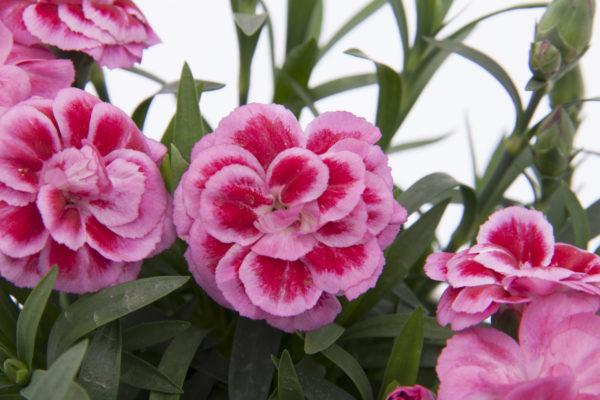 02262_OscarViolet+Pink