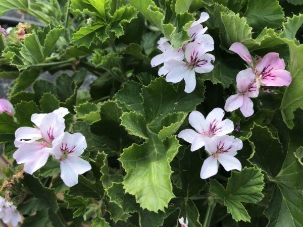Pelargonium x Unique 'White Unique'  1