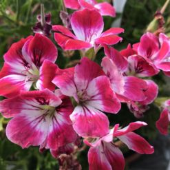 Regal Pelargonie Royal Ascot