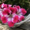 Regal Pelargonie Royal Ascot
