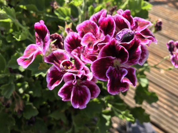 Regal – Pelargonie 'Bermuda Pink'