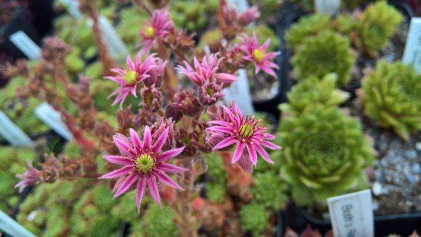 Braune Maus 120 Blüte